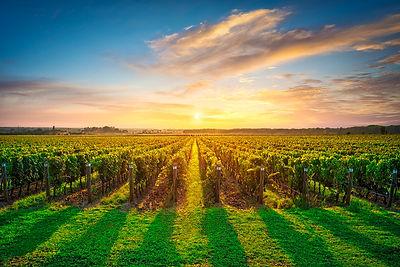 Bolgheri vineyards at sunset