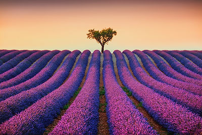 Lavender Fields and Lonely Tree