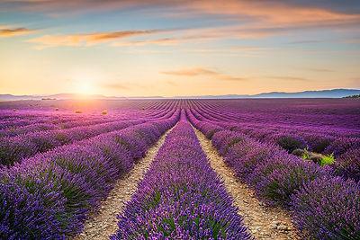 Lavender Fields Sunset