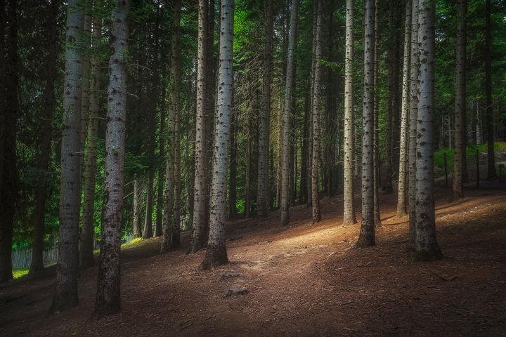 Silver Fir forest in Orecchiella Park