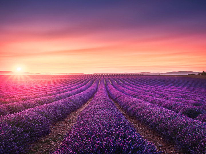 Lavender fields at sunset. Provence