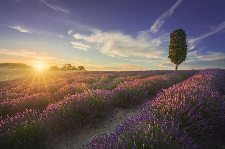 Lavender fields and tree at sunset. Tuscany