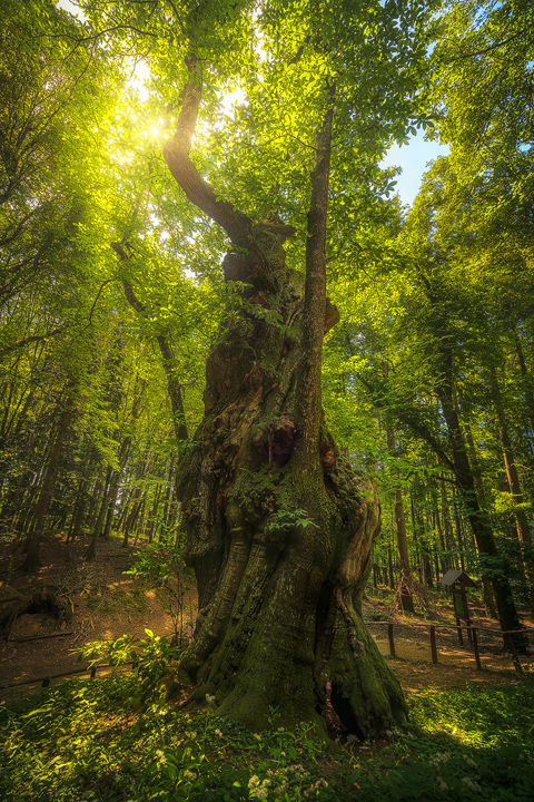Secular Chestnut Tree. Casentino