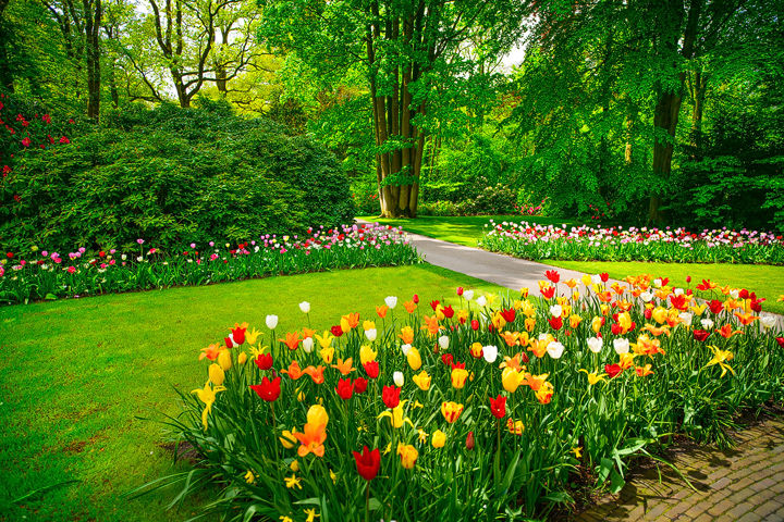 Tulips Flowers in Keukenhof garden. Netherlands