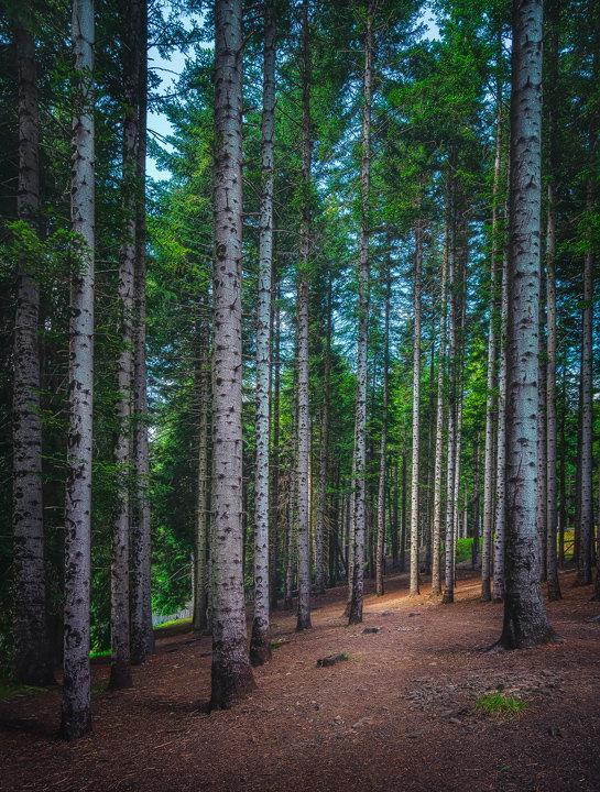 Silver Fir Forest. Tuscan Apennines