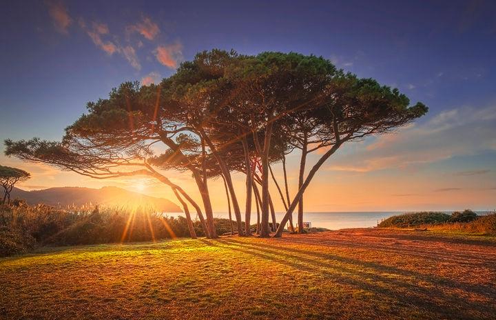Pine trees at Sunset. Baratti