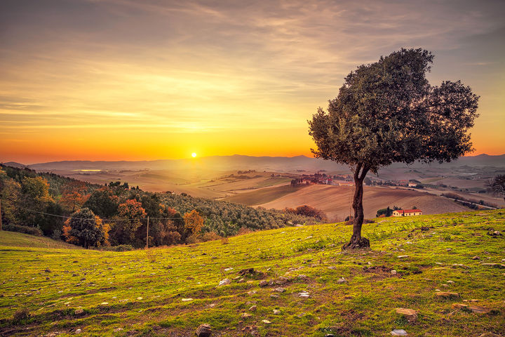 Windy Olive Tree at Sunset