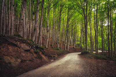 Road in a Beechwood. Casentino