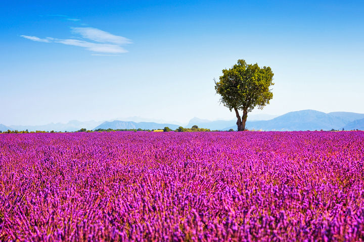Tree and Lavender Flowers
