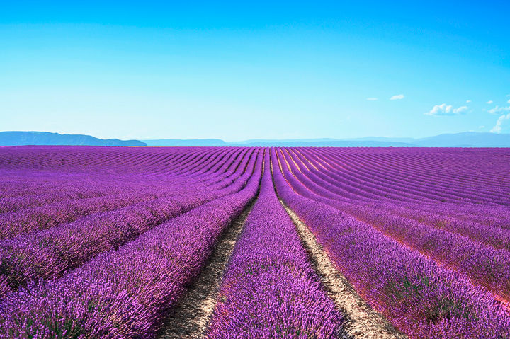 Endless rows of lavender, Provence