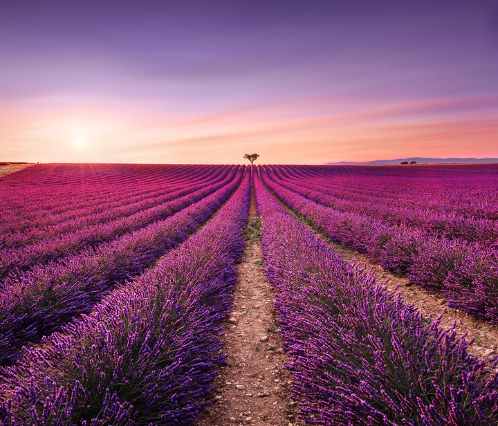 Lavender and Lonely Tree at Sunset