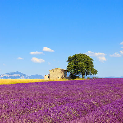 Lavender, house and tree. Provence.