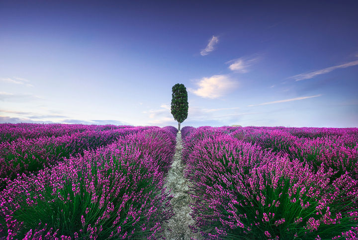 Lavender fields and cypress tree. Tuscany