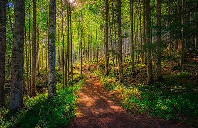 Path inside a Fir Forest. Abetone