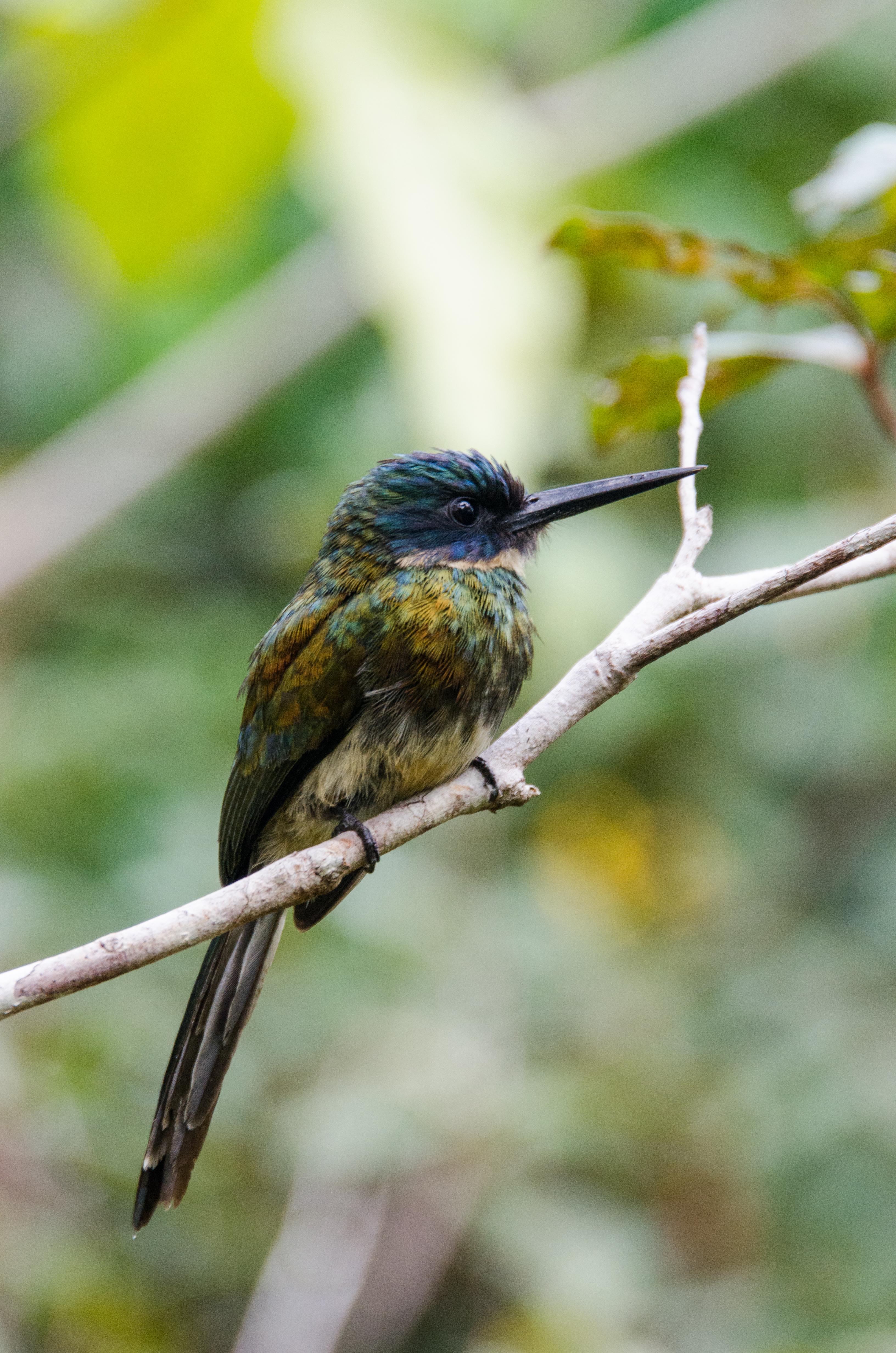 Galbula leucogastra