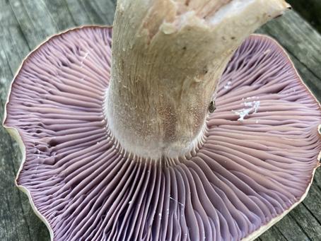 Beginner Part 2: Steps to ID a Mushroom