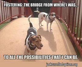 foster-bridge-jack-russell.jpg