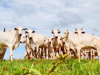 MS registra aumento na produção de carne bovina, suína e de frango