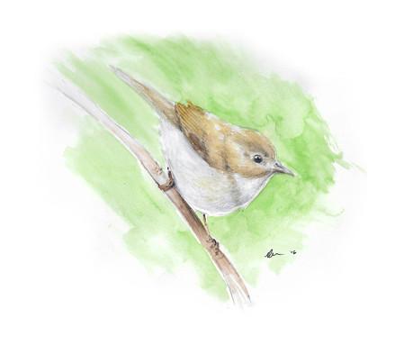 Bonellis Warbler
