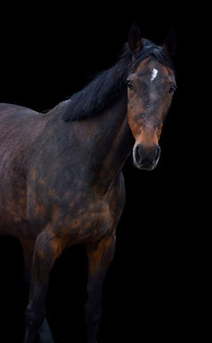 coachpaard-Yero-van-Esch-paarden-coachin