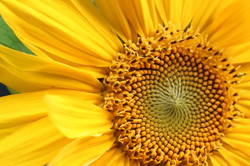 close-up-of-sunflower-534559953-578245205f9b5831b56de83f.jpg