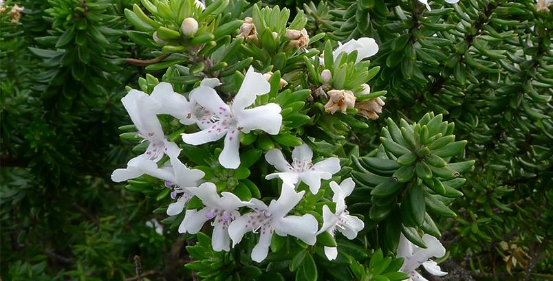 Westringia fruiticosa (Zena)