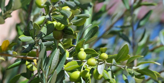 Nesiota Elliptica (St Helena Olive)