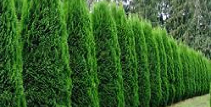 Juniperus Virginiana 'Spartan' (Conifer Spartan)