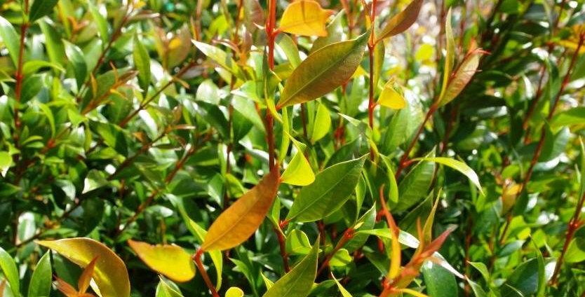 "Syzygium australe ""Bush Christmas"" (Lilly Pilly)"