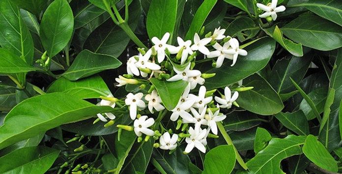 Randia Fitzalanii(Native Gardenia)