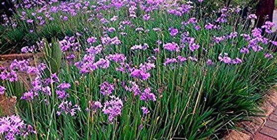 Tulbaghiaviolacea (Society Garlic)