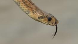 Cobra-de-escada