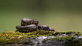 Cobra-de-água-viperina