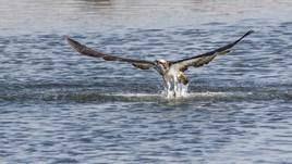 Águia-pesqueira