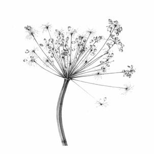 G05 Cow Parsley
