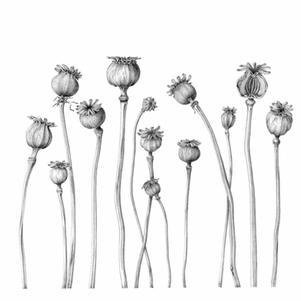 G03 Poppy Seed Pods
