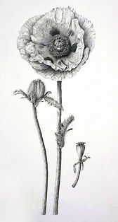 Oriental+Poppy.jpg