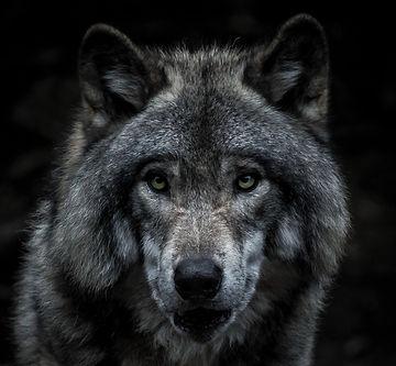 Der Wolf als Sinnbild