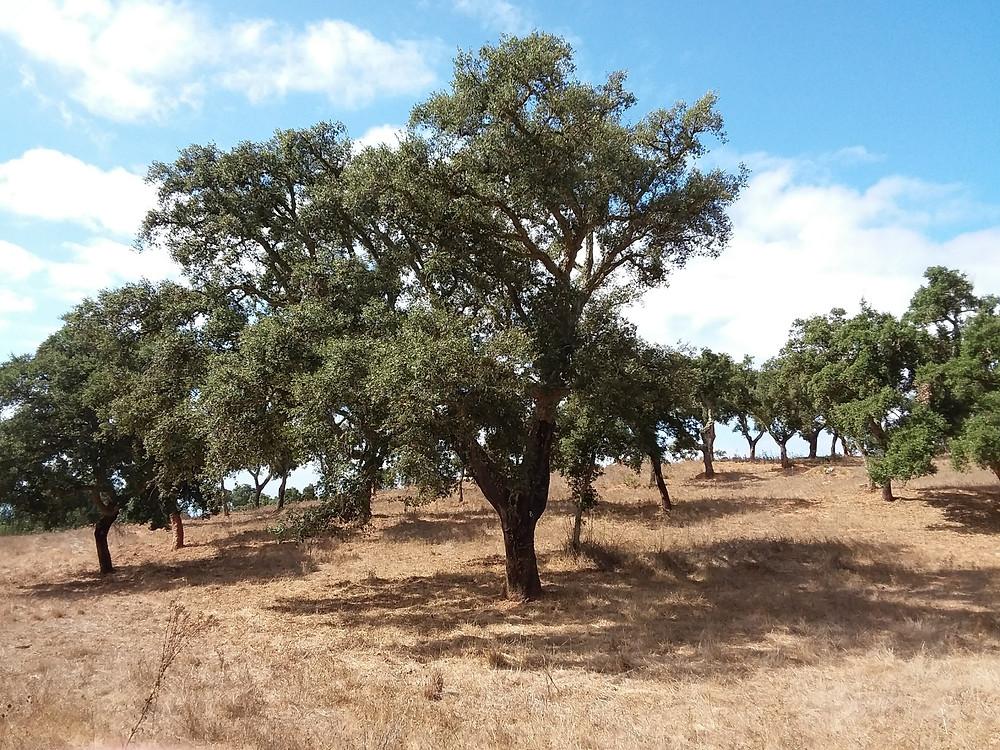 Cork oak (Quercus suber)