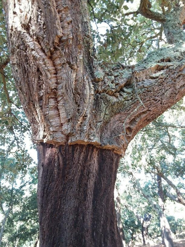 Cork oak stripped of its bark