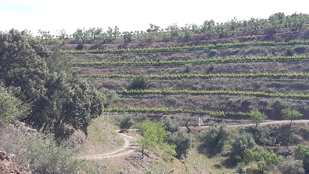 Catalan vineyard