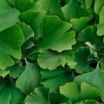 은행나무잎 추출물.png