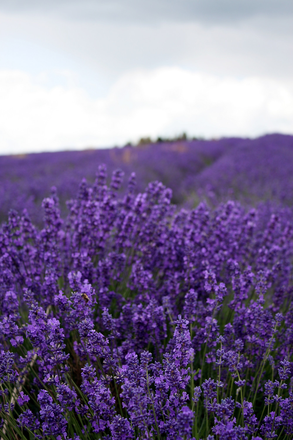 Cotswold Lavender Fields in bloom