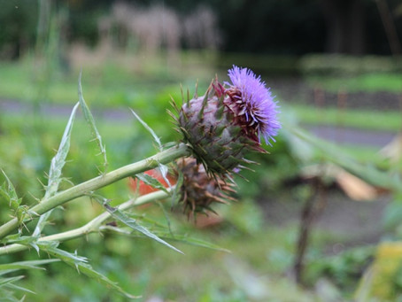 The Thistle Story