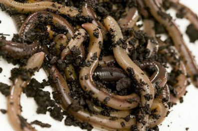 Texas Worm Farm African Nightcrawlers Red Wigglers And European