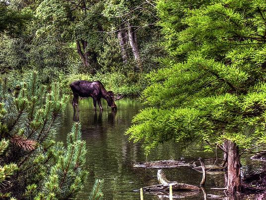 animal-drinking-elk-3523.jpg