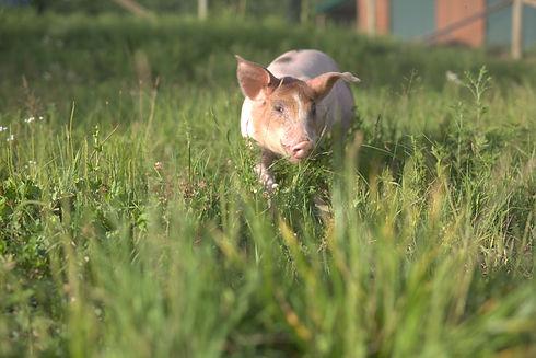 piglet pasture.jpeg