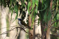 AZ - Blue-faced honeyeater