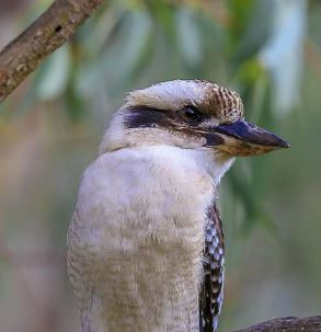 Kookaburra_edited