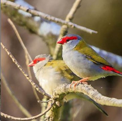 Red Browed Finches_edited